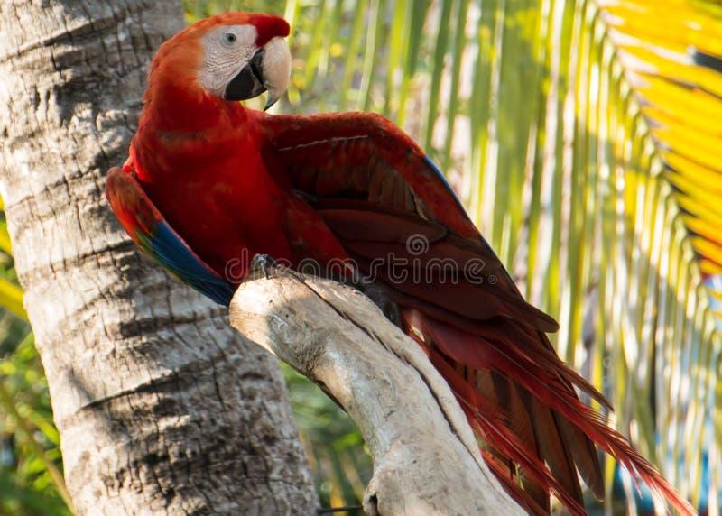 猩红色金刚鹦鹉鹦鹉鸟 异乎寻常,绿色 免版税库存照片