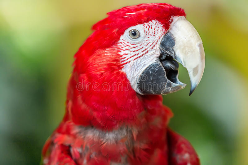 猩红色金刚鹦鹉鹦鹉,在绿色背景 免版税图库摄影