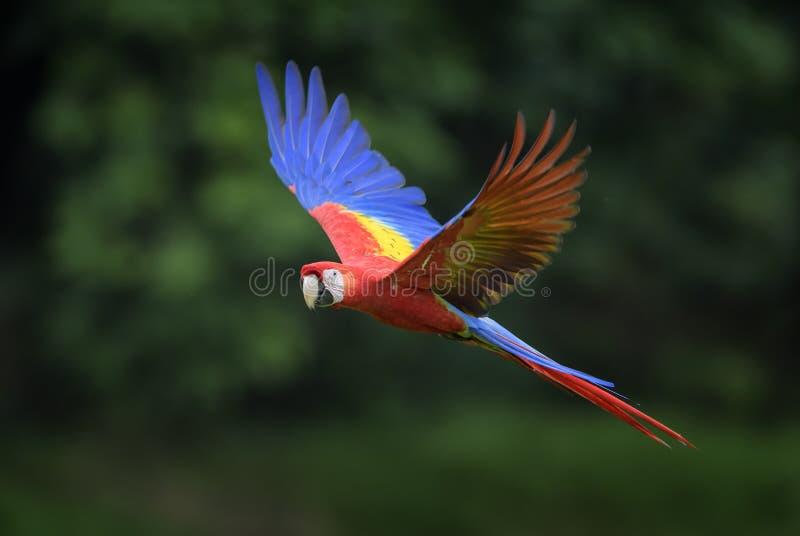 猩红色金刚鹦鹉- Ara澳门 免版税库存照片