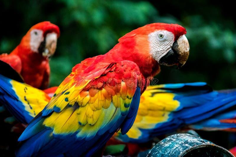猩红色金刚鹦鹉- Copan,洪都拉斯 库存照片