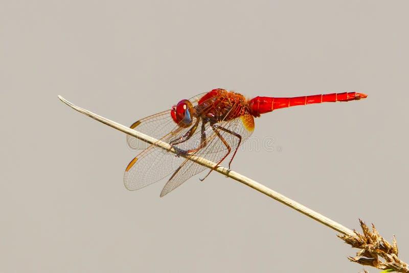 猩红色蜻蜓, Crocothemis erythraea 库存照片