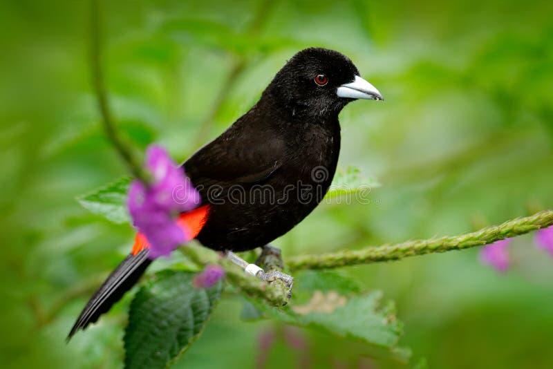 猩红色rumped唐纳雀, Ramphocelus passerinii,异乎寻常的热带红色和黑歌曲鸟形式哥斯达黎加,绿色森林自然habi的 免版税库存照片