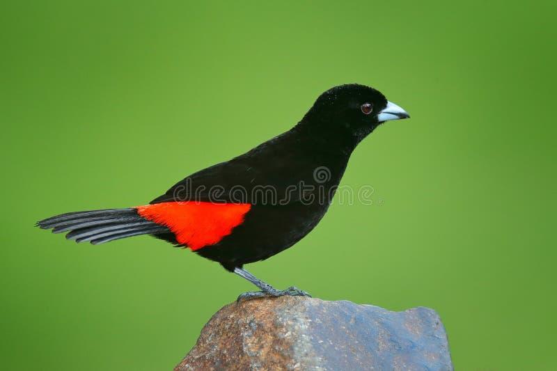 猩红色rumped唐纳雀, Ramphocelus passerinii,异乎寻常的热带红色和黑鸟从哥斯达黎加,在绿色森林自然栖所 免版税库存照片
