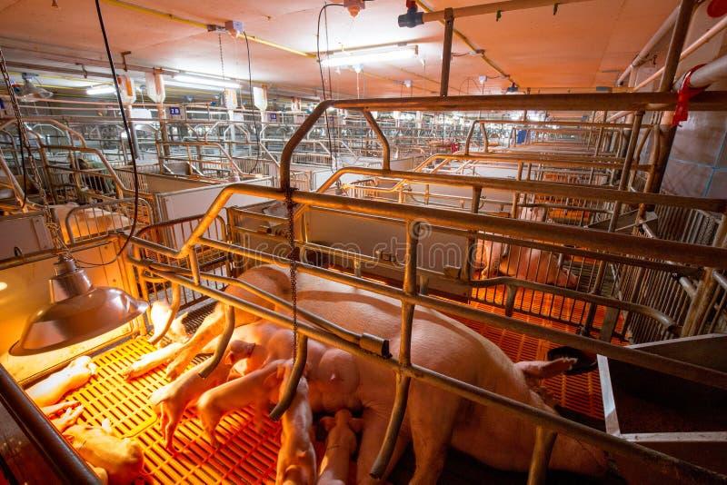 猪事务 有优质种田的猪农场 图库摄影