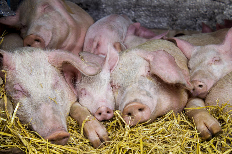 猪休息在饲槽 库存图片
