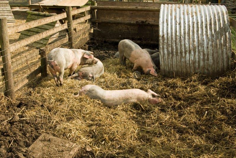 猪作用 库存照片