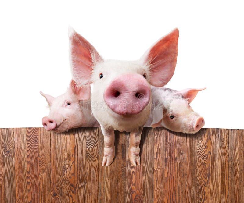 养猪场 免版税库存照片