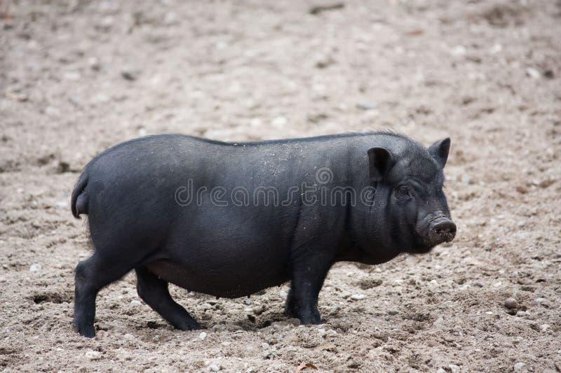 猪大肚子越南语图片