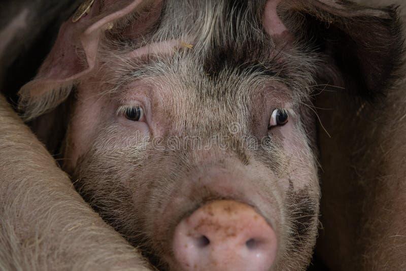 猪头。这是猪圈里的猪。你只看到猪头。 图库摄影