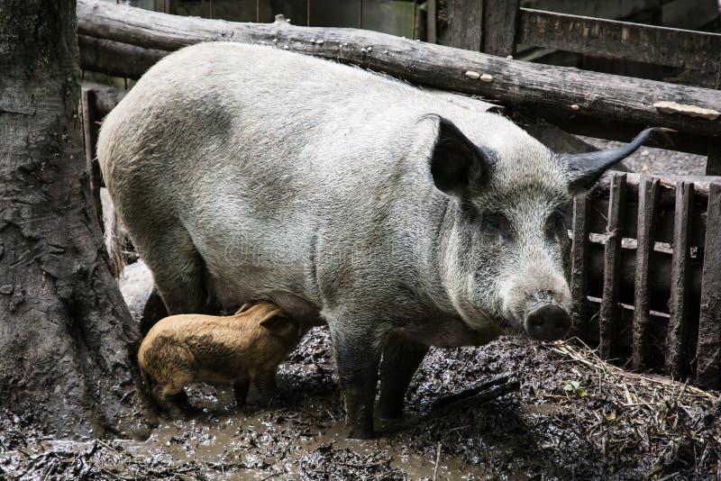 猪家庭 库存图片