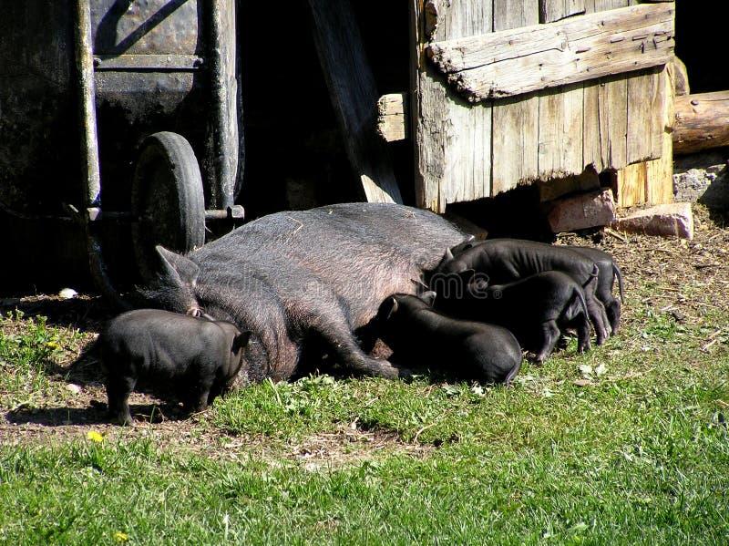猪家庭 库存照片