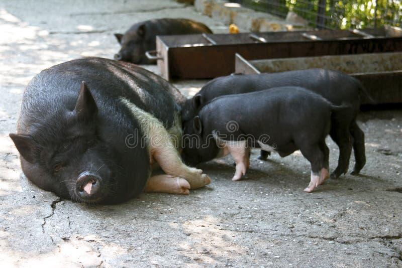 猪家庭 免版税图库摄影