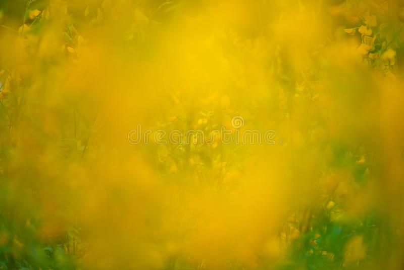 猪屎豆属Juncea或sunn大麻花迷离和abstrct  库存照片