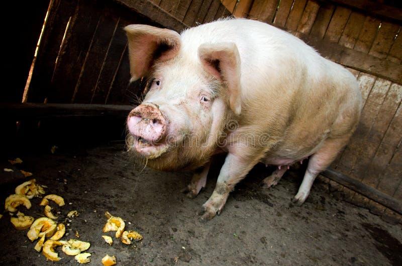 猪提供 库存图片