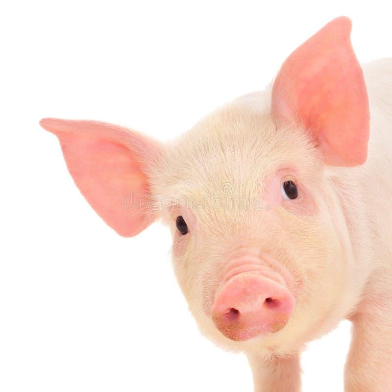 猪白色 免版税图库摄影