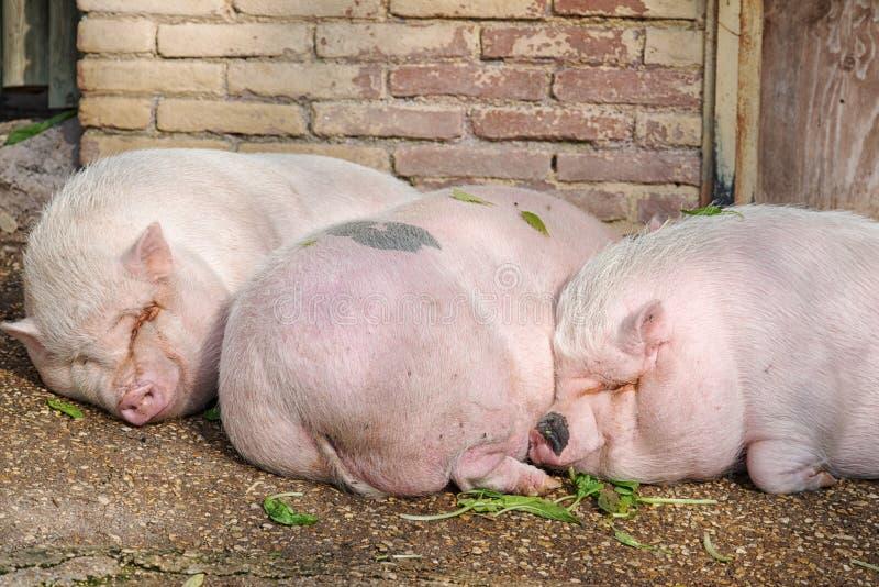 猪睡觉 免版税库存照片