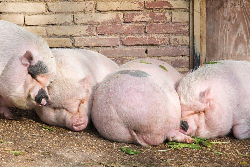 猪睡觉 库存图片
