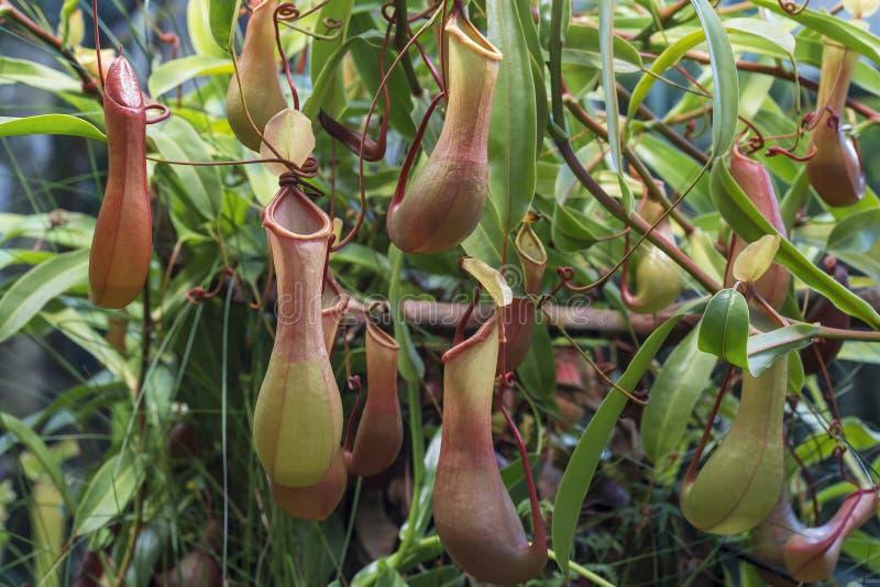 猪笼草-生长在热带亚洲的肉食植物 免版税图库摄影