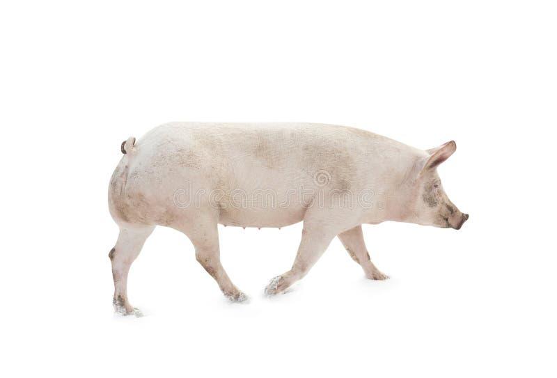 猪被隔绝的动物走 库存图片