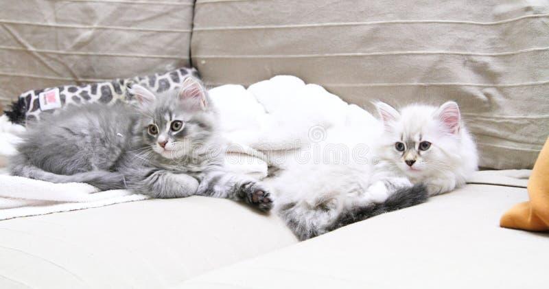 猫、neva化妆舞会和蓝色版本西伯利亚小狗  图库摄影