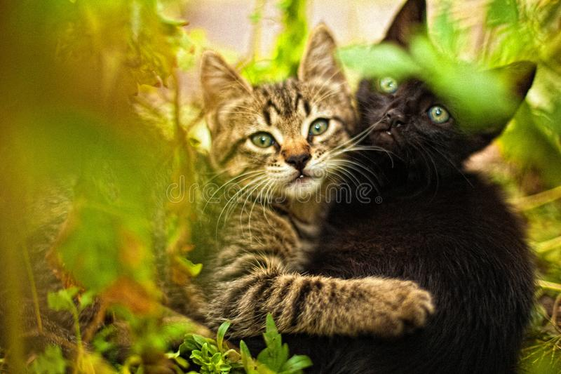猫一对爱恋的夫妇  库存图片