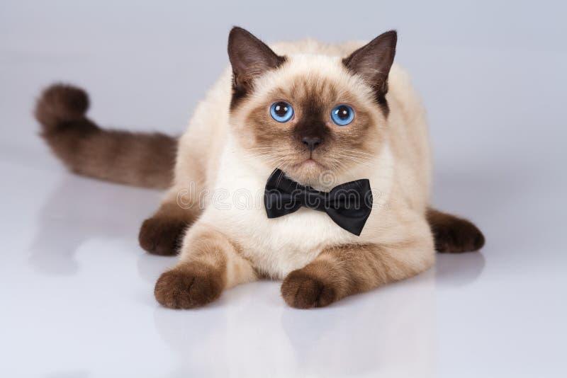 猫佩带的蝶形领结 免版税库存照片