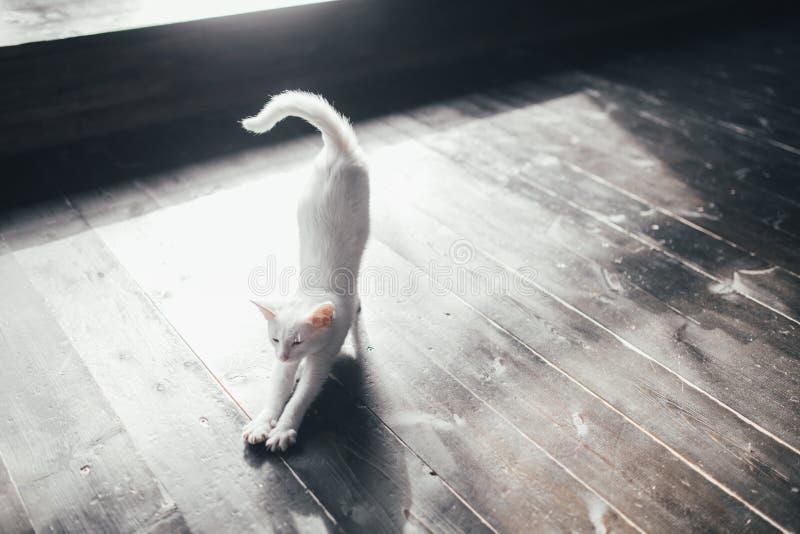 猫全部赌注里面一点软的白色背景 库存图片