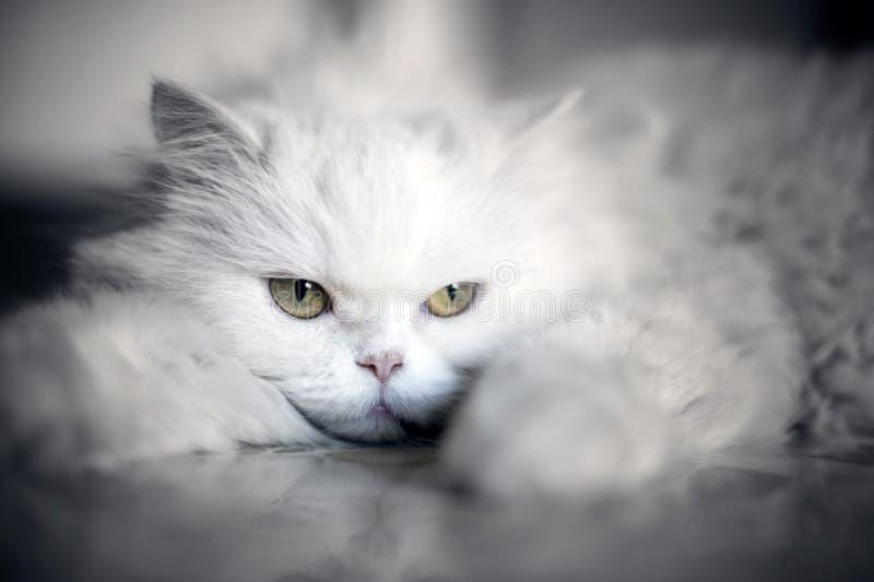 猫典雅的白色 库存图片