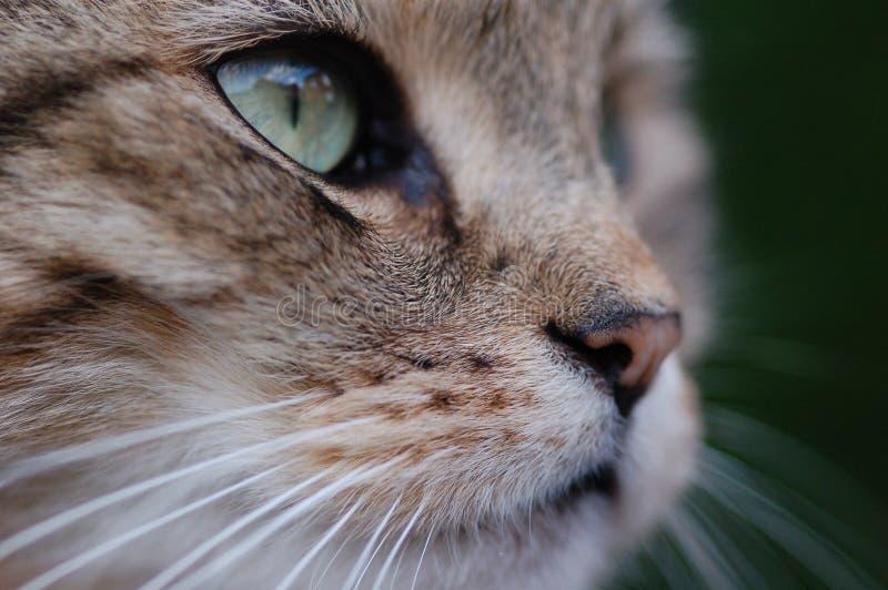 猫凝视 库存照片