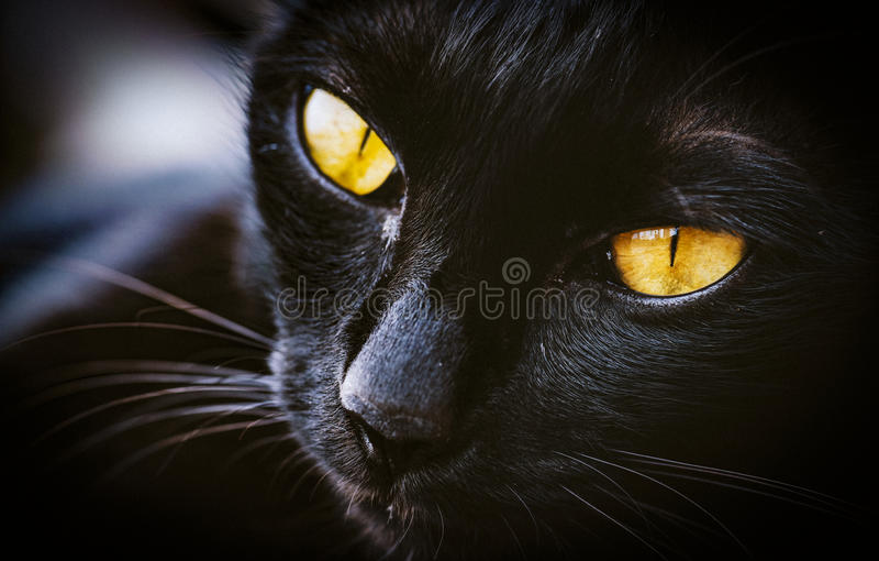 猫动物宠物的哺乳动物宏指令  库存图片