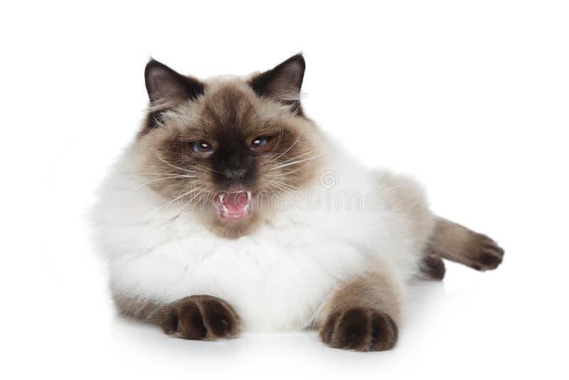 猫化妆舞会neva西伯利亚人 库存图片