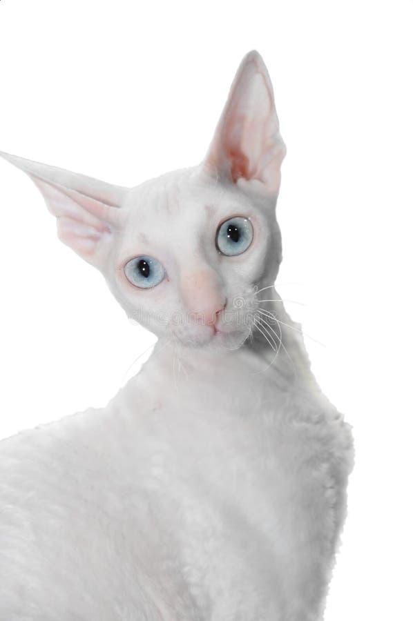 猫卷曲白色 免版税库存照片
