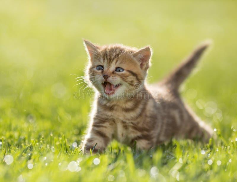 猫叫在绿草的幼小小猫猫 免版税库存照片