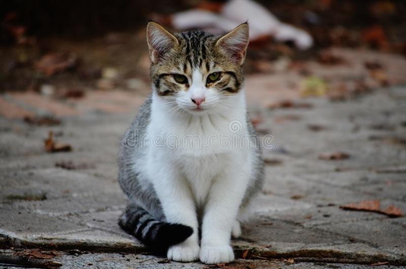 猫叫声 库存图片