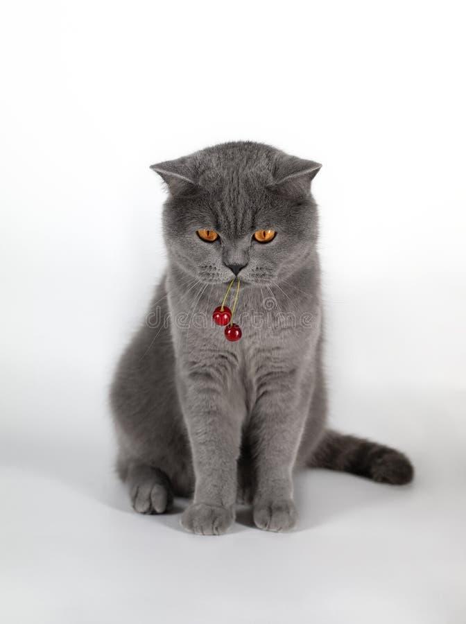 猫吃莓果樱桃 一个逗人喜爱的肥胖英国猫女用披肩莓果 英国灰色猫用在白色的红色樱桃莓果 免版税库存照片