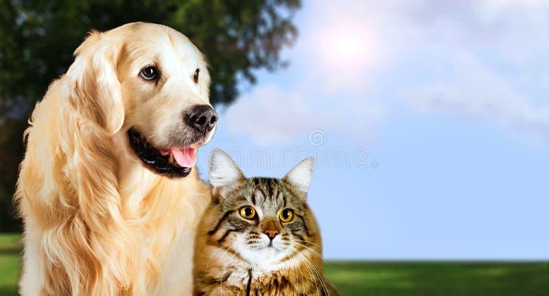 猫和狗,西伯利亚小猫,一起金毛猎犬在平安的自然背景 免版税库存图片