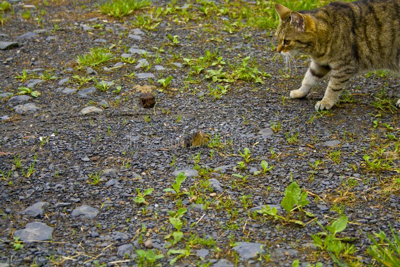 猫和老鼠互相观看 库存照片