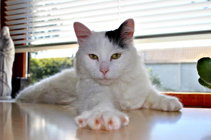 猫品种土耳其语范或土耳其安哥拉猫 免版税库存照片