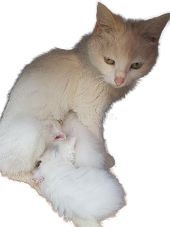 猫哺乳她的小狗 免版税图库摄影