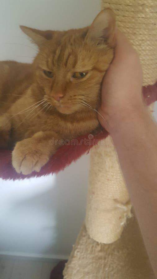 猫喜欢beeing被抚摸 库存图片