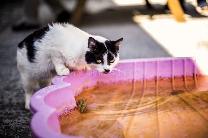 猫喝 免版税图库摄影