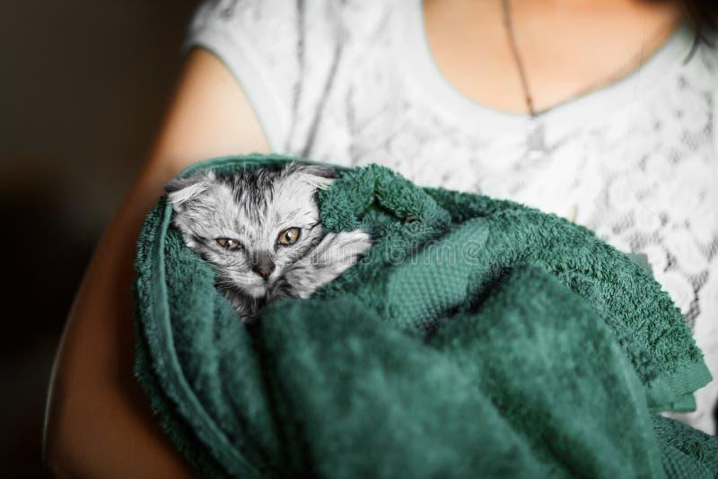 猫在毛巾,垂耳苏格兰人洗涤了,垂耳的英国 免版税库存照片