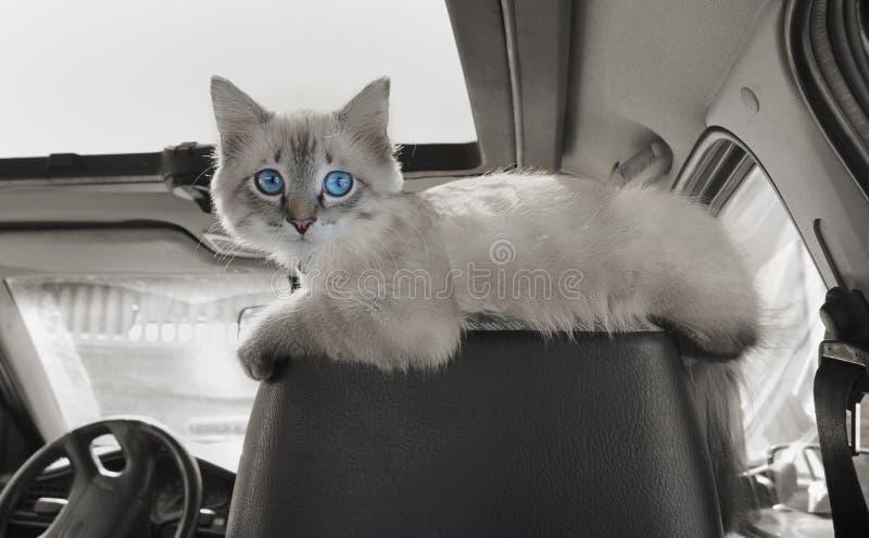 猫在汽车坐乘客开会 库存照片