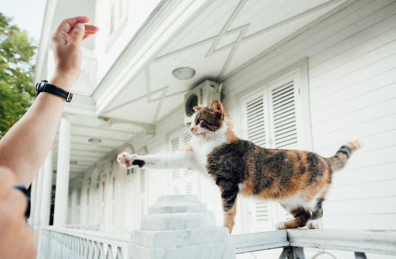 猫在篱芭站立并且举他的在人` s手上的爪子 免版税图库摄影