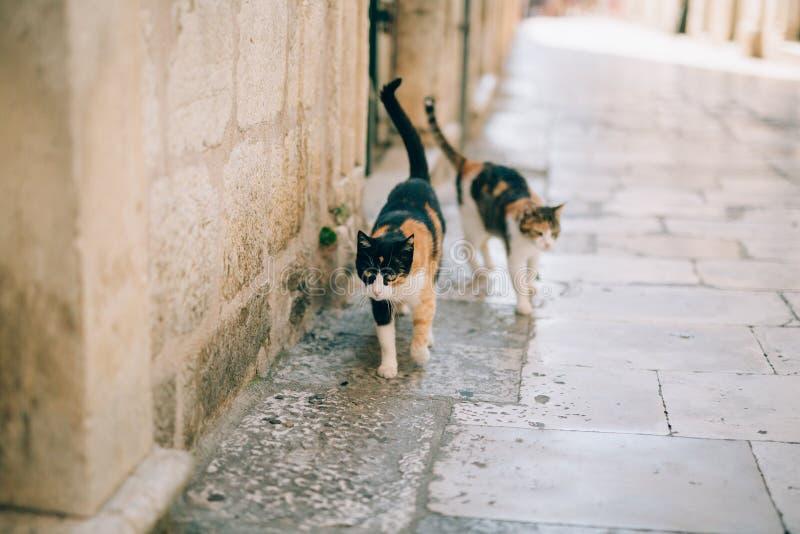 猫在老镇布德瓦,科托尔,杜布罗夫尼克 克罗地亚和星期一 免版税库存照片