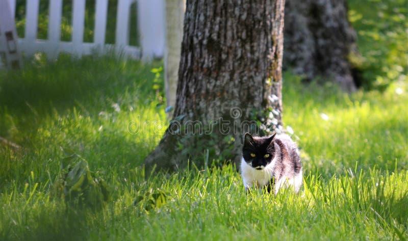 猫在草平静地偷偷靠近 免版税库存图片
