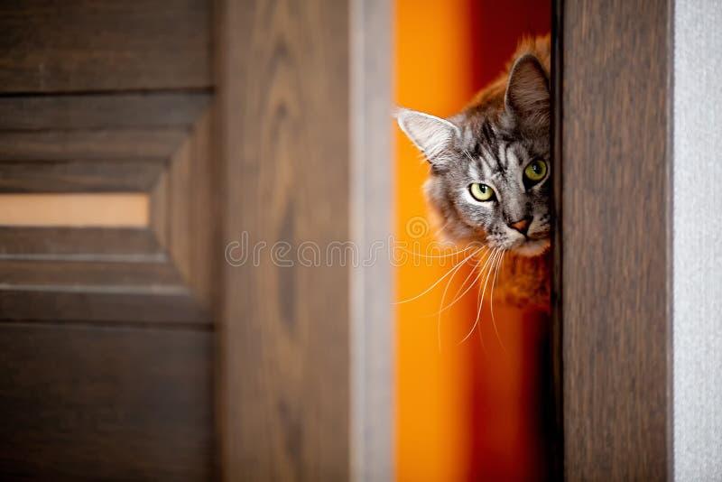 猫在门偷看 免版税库存图片