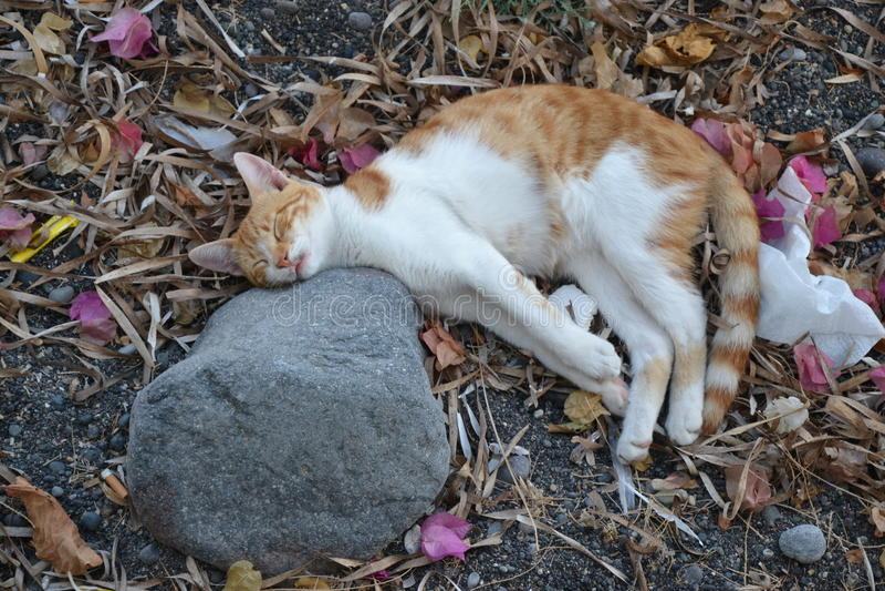 猫在Kamari 免版税库存照片