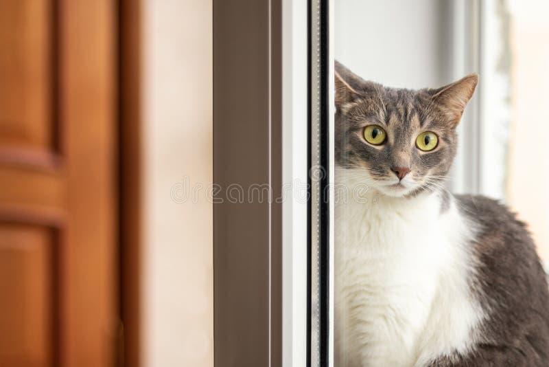 猫坐窗台在开窗口附近和看照相机通过玻璃 库存照片