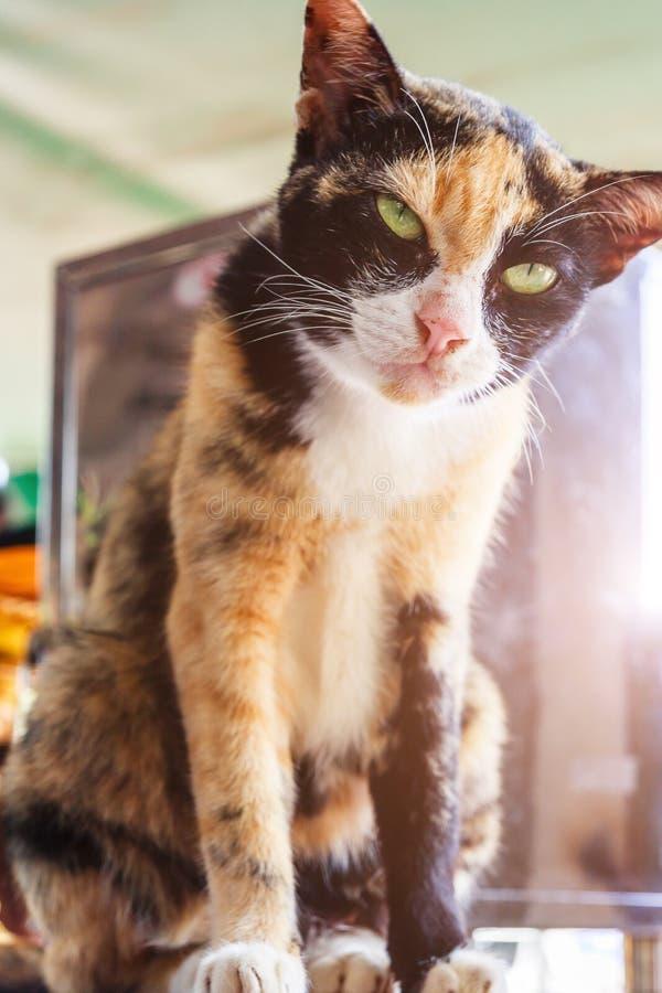猫坐 绿眼的猫画象 在太阳光下的全部赌注猫 库存照片